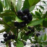 Арония-рябина-черноплодная
