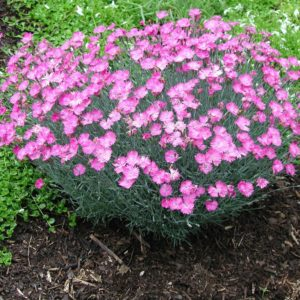 Гвоздика альпийская<br>Dianthus alpinus