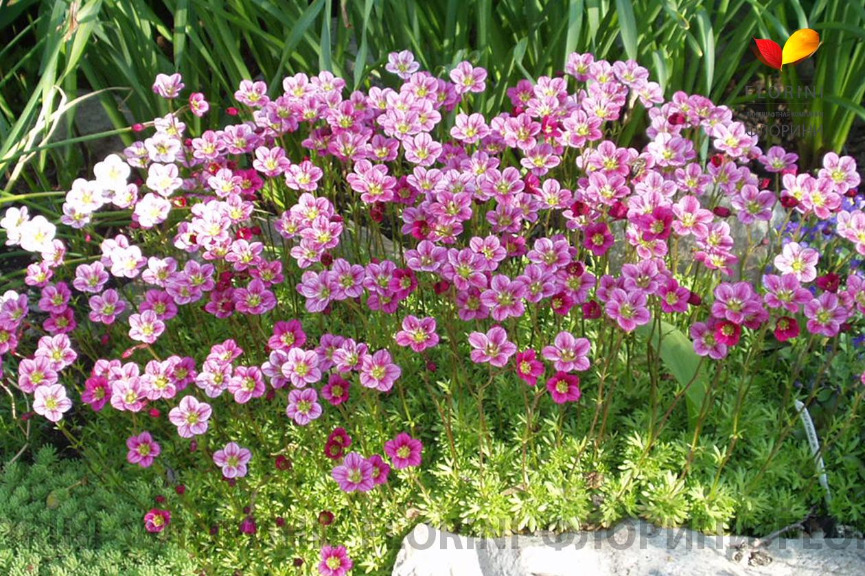 Цветок камнеломка : описание садовых и домашних растений - Энциклопедия