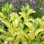 Седум (очиток) белорозовый Медиовариегата <br>Sedum erythrostictum Mediovariegata