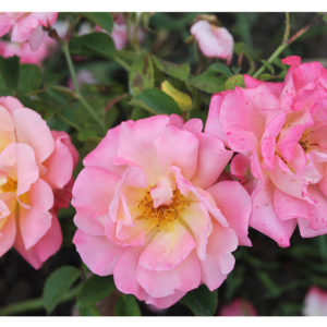 роза-кубана ЛЕТОМ