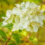 florini-150928-гортензия-лайм-лайт-03