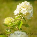 florini-150928-гортензия-лайм-лайт-05