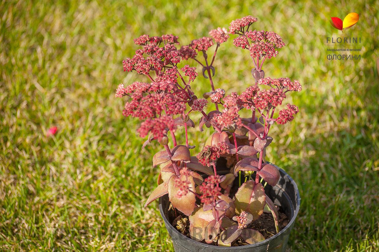Очиток садовые цветы фото
