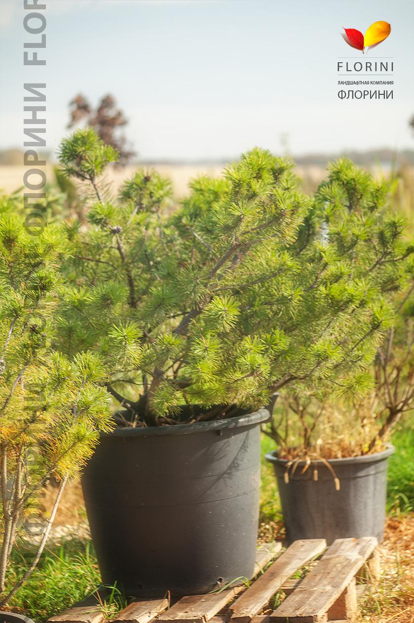 Как правильно посадить хвойные (сосну, ель) - Ландшафтный 97