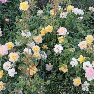 florini-151017-роза-еллоу-ферри-03