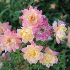 Роза бордюрная Триколор <br>Rose Tricolor