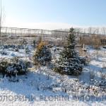 florini-2015-ель-туя-можжевельник-клумба-питомник-зима