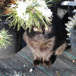 florini-2015-сосна-горная-можжевельник-питомник-зима