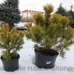 florini-2015-сосна-горная-винтер-голд-зима