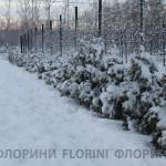 florini-2015-туя-смарагд-зима-02