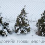 florini-2015-туя-смарагд-зима