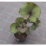 florini-бузульник-брит-мари-кроуфорд-15-07-01-66
