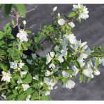 florini-чубушник-виргинал-15-06-14-10