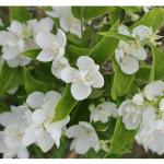 florini-чубушник-виргинал-15-07-01-04