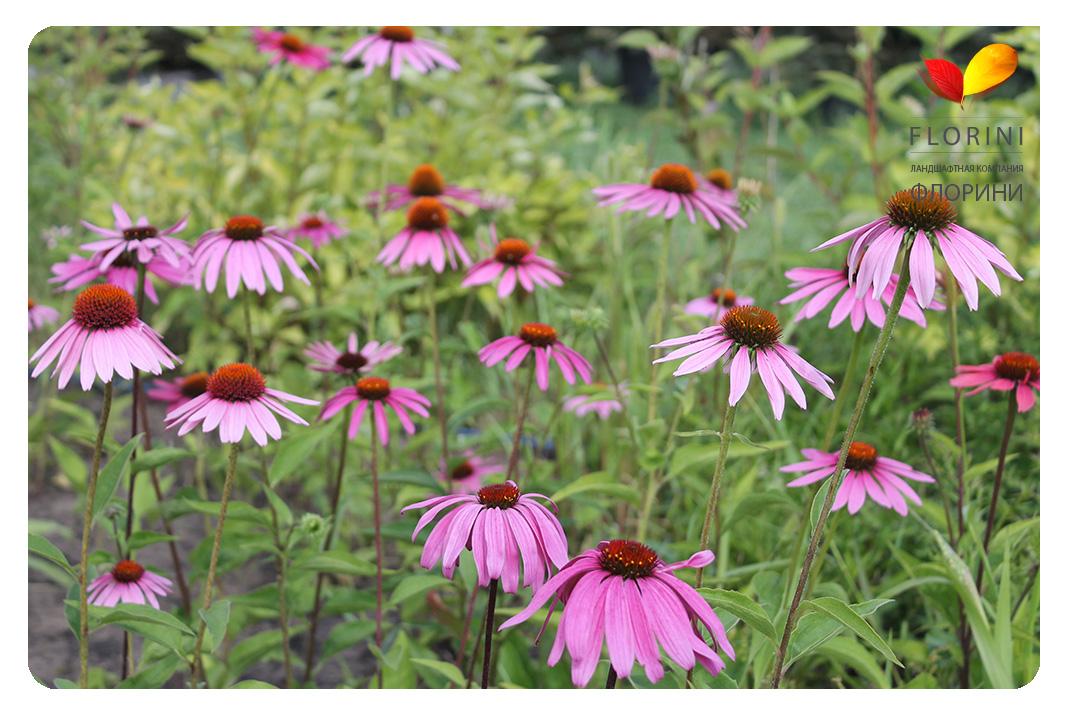 Эхинацея пурпурная мантия выращивание 59