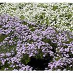 florini-флокс-шиловидный-голубой-15-06-02-85