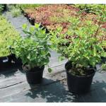 florini-гортензия-метельчатая-15-06-14-12