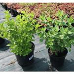 florini-гортензия-метельчатая-15-06-14-13