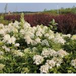 florini-гортензия-метельчатая-грандифлора-150809-01