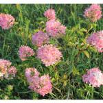 florini-гортензия-метельчатая-ванила-фрайз-150809-05