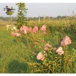 florini-гортензия-метельчатая-ванила-фрайз-150809-06
