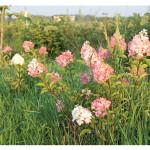 florini-гортензия-метельчатая-ванила-фрайз-150809-07