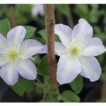 florini-клематис-15-07-01-72