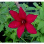 florini-клематис-15-07-01-73