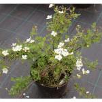 florini-лапчатка-аббодствуд-15-06-02-02