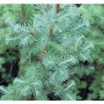 florini-лиственница-японская-кемфери-15-06-02-05