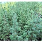 florini-лиственница-японская-кемфери-15-06-02-06