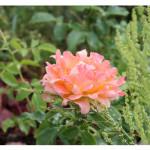 florini-роза-дрим-раффлс-15-07-01-02