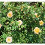 florini-роза-еллоу-фейри-15-06-02-87