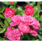 florini-роза-лавли-фейри-150802-01