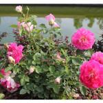 florini-роза-раффлс-пассион-15-07-01-17