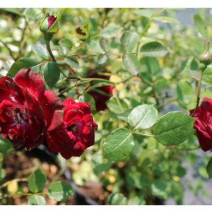 Роза бордюрная Рэд Фейри <br>Rosa Red Fairy