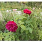 florini-роза-шекспир-150809-01