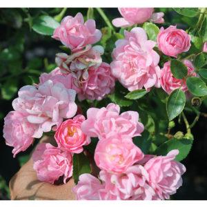 Роза бордюрная Зе Фейри <br>Rose The Fairy