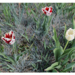 florini-тюльпан-15-05-02-14