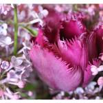 florini-тюльпан-сирень-15-05-02-02