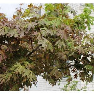 Клен остролистный Чальз Джоли<br>Acer platanoides Charles Joly