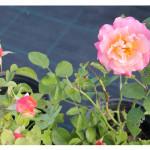 florini150828-роза-кубана-01