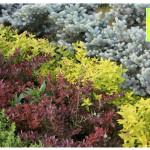 photo-florini-2014-05-25-12-ель-колючая-глаука-глобоза-спирея-голден-принцесс-барбарис-атропурпуреа-нана