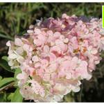 photo-florini-2014-08-12-05-гортензия-ванила-фрайз