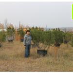 photo-florini-2014-10-10-18-сосна-горная-питомник