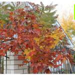 photo-florini-2014-10-10-25-клен