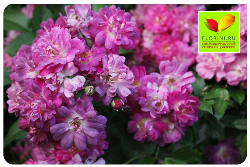 Купить розу veilchenblau