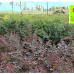 photo-florini2013-07-09-барбарис-атропурпуреа-вейгела-розеум