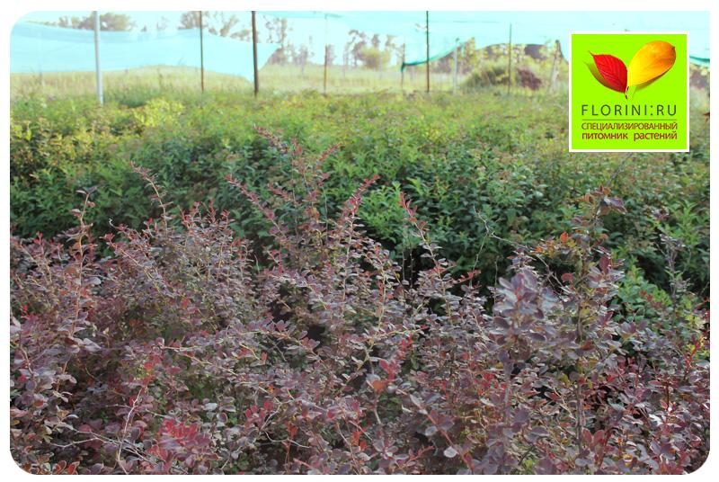 Как сажать кусты барбариса осенью 65